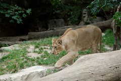 Asiatischer Löwe im Parc zoologique et botanique de Mulhouse