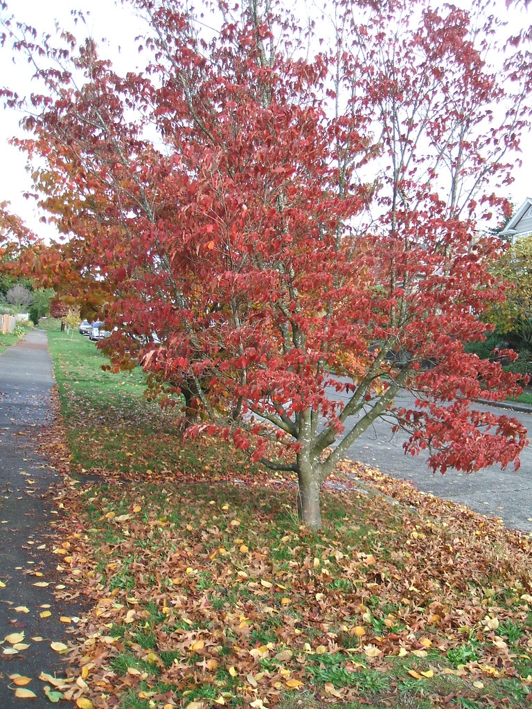 Dogwood in fall