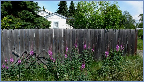 Spenard house and fireweed.