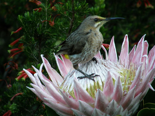 Sugar bird (Promerops cafer), sobre protea real