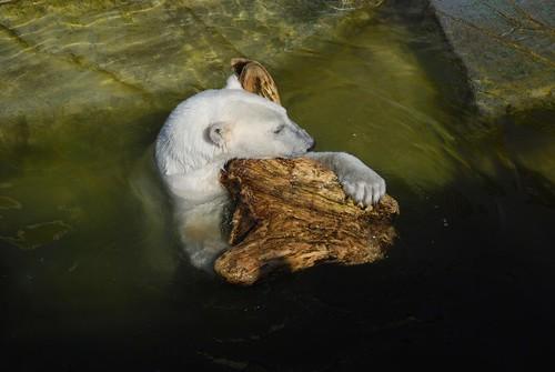 Eisbärin Noel im Zoo Kopenhagen