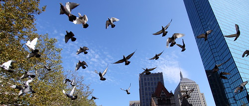 Pigeons at Copley Square I