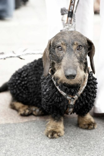 Handsome wire-haired Dachshund in sweater