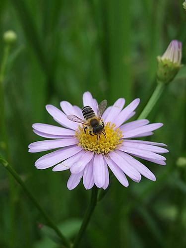 花と虫達(ミツバチ)~笹川流れ