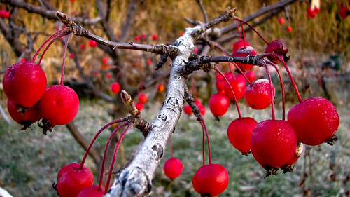 waxyfruit with frost-2057