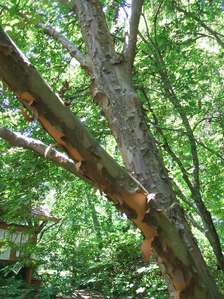 Stewartia monodelpha with peeling bark