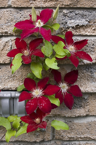 Clematis Rebecca