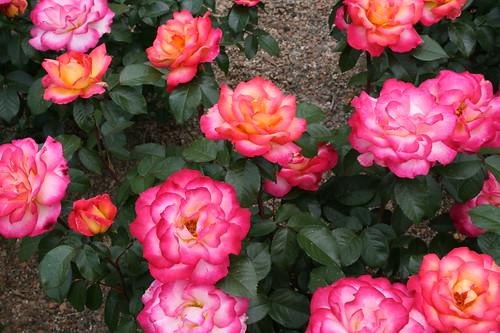 Rainbow Sherbet Roses upclose