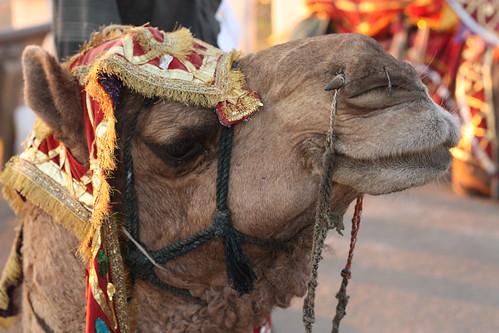 Christmas Camel, Udaipur