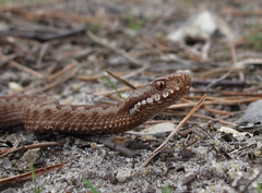 Adder, Ambersham Common - 1
