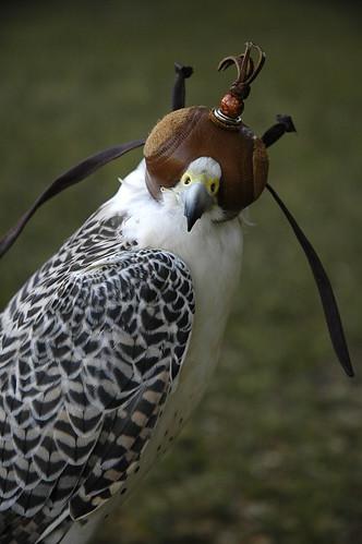 White Saker Falcon
