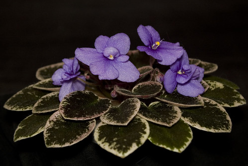 Saintpaulia 'Shy Blue'