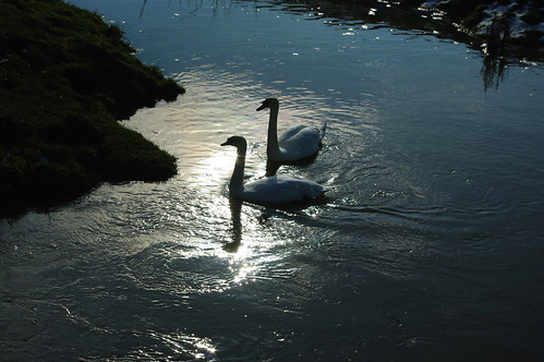 20100220-25_Pair of swans on The River Avon - Wolston by gary.hadden