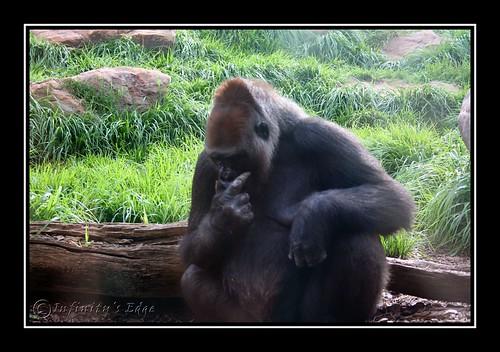 Gorillas 2