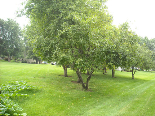 And, lovely apple trees