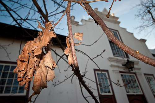 Looking up through dead oak leaves and branches at a gabled Cape Dutch style house.