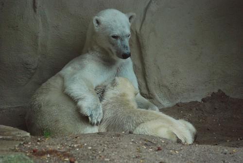 Eisbären Huggies und Walker im Ouwehands Dierenpark Rhenen