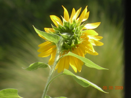 One of my sunflowers...as viewed from inside the house...looking through the front window...