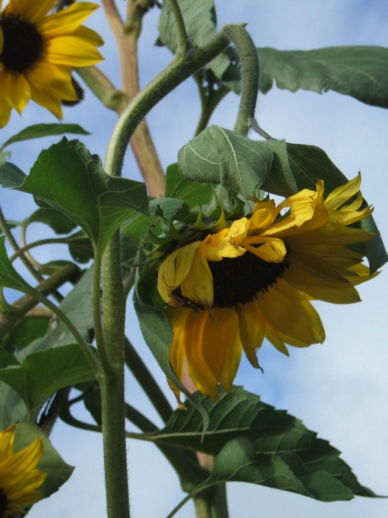 Broken-necked Sunflower