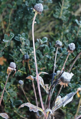Frozen seed pods