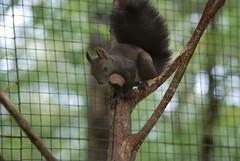 Eichhörnchen im Im Parc animalier de Gramat