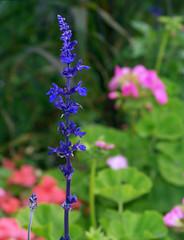 Tall vivid blue flowers.