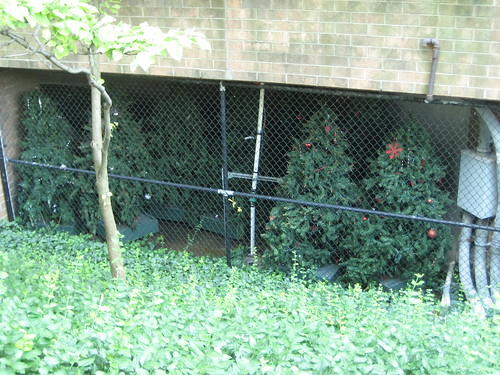 In Indianapolis, Christmas trees are considered a threat to people, and kept in a cage underground until Christmas.