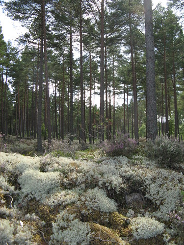 Lichen, moss, heather and pines