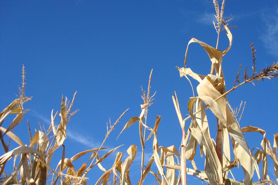 Layman's Corn Maze