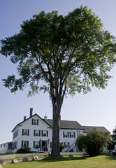 Magnificent Elm Tree Guards Moorings Inn