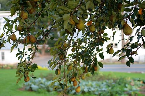 Pear tree
