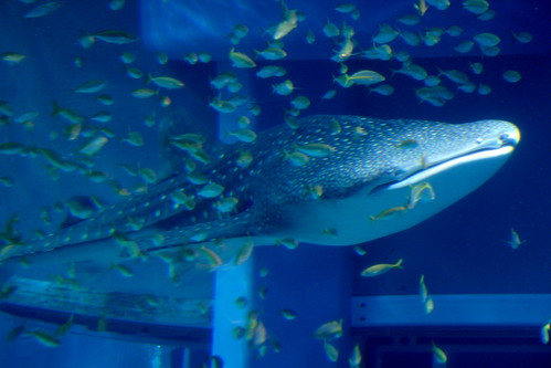 Whale Shark and Entourage