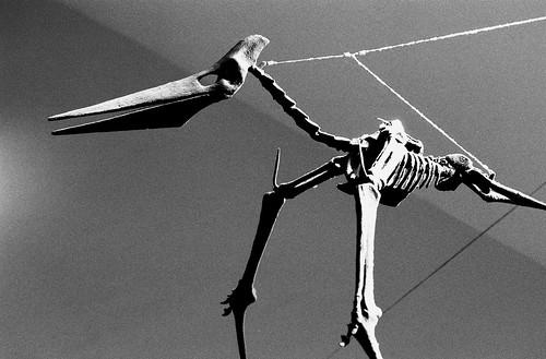 Pteranodon. (Fuji Neopan 1600. Nikon F100. Noritsu Koki.)