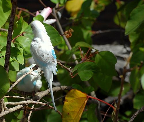 Waikiki parakeets