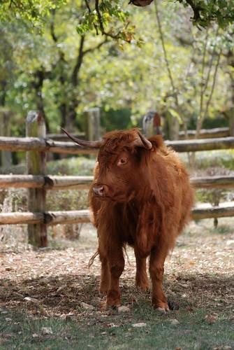 Schottisches Hochlandrind im Parc animalier de Gramat