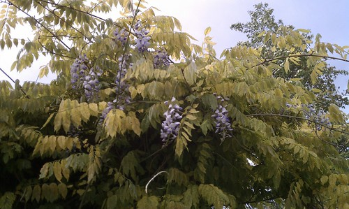 First blooms EVER on this wisteria; it was the first plant I planted when we bought our house