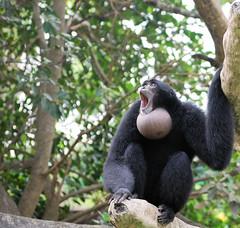 Gibbon @ Metro Zoo