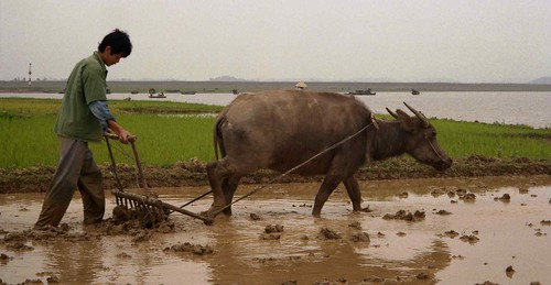 Man plowing rice paddy with water buffalo; Hai...