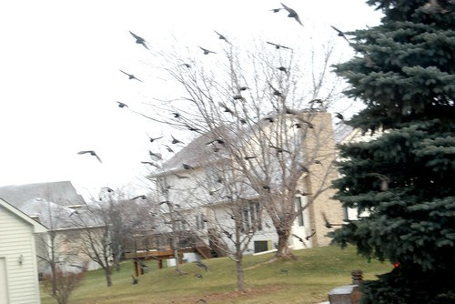 The Birds I