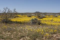 Spring wildflowers in bloom. in the California...