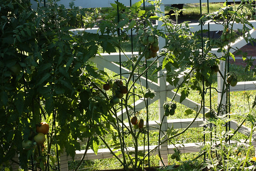 Morning Denuded Tomatoes