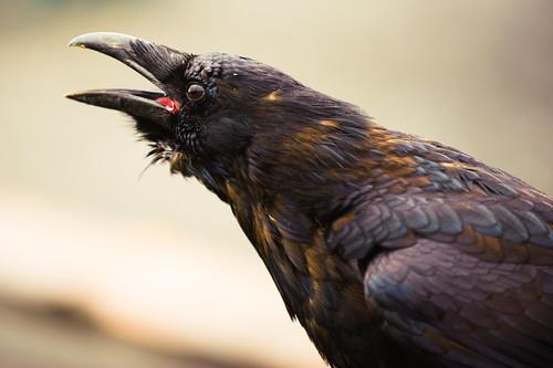 Not so blackbird