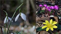 siklamen & kardelen & sarı çiçek