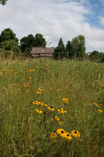 Black-eyed Susans and new house