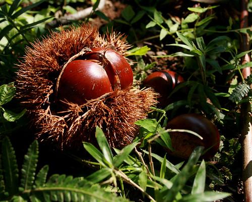 chestnut reveals its hidden treasure