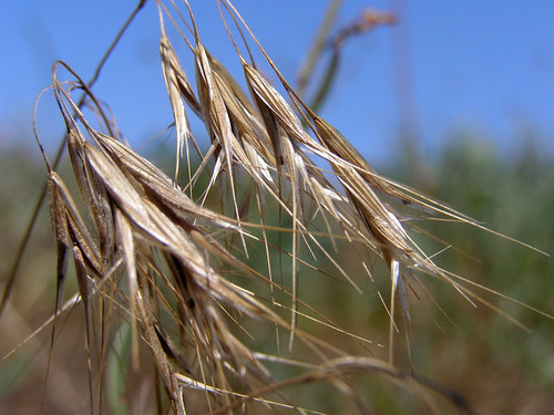 wild grass seed heads