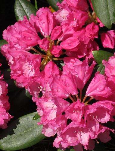 Rhododenron in my mothers garden by Mostraum