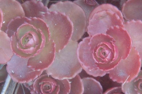 葉子像玫瑰花 1