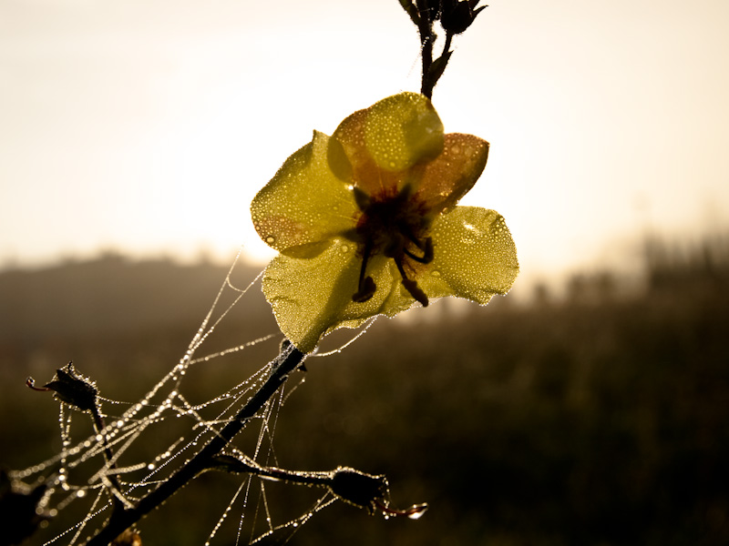 Dewy Blossom