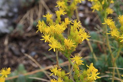 Vara d'Or (Solidago virgaurea)